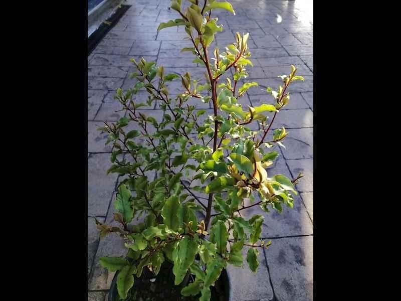 Tawhiwhi tree (Pittosporum)